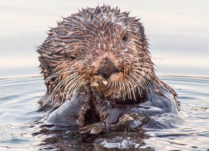 National Wildlife Dilly Day - Sea Otter